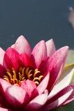 Rosa Seerose im Teich Lizenzfreie Stockfotografie