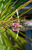 Rosa Seerose im Teich Lizenzfreie Stockbilder