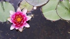 Rosa Seerose im Teich mit grünen Blättern Stockfotografie