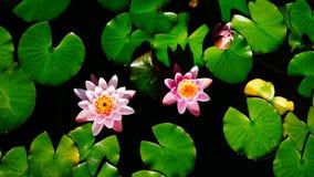 Rosa Seerosen, die unter hellgrünen Blättern schwimmen Stockbilder
