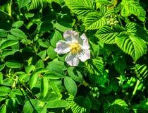 Rosa selvagem Fotografia de Stock