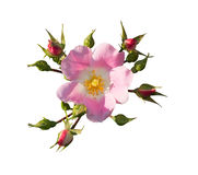 Rosa selvagem Foto de Stock
