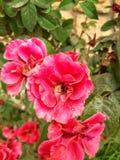 Rosa selvagem imagem de stock