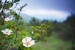 Rosa selvagem floresce no prado nas montanhas imagem de stock royalty free