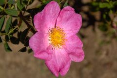 A rosa selvagem mágica Rosa Gallica 'Essig Rosa foto de stock royalty free