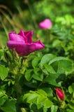 Rosa, selvaggia, è aumentato, fiori, rosa canina, cinorrodo, cane Fotografia Stock