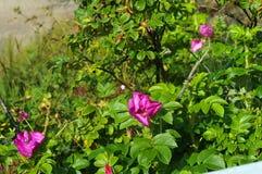 Rosa, selvaggia, è aumentato, fiori, rosa canina, cinorrodo, cane Immagine Stock