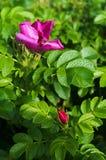 Rosa, selvaggia, è aumentato, fiori, rosa canina, cinorrodo, cane Immagini Stock Libere da Diritti