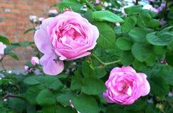 Rosa selvaggia Fotografia Stock