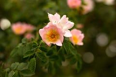Rosa selvaggia Immagine Stock