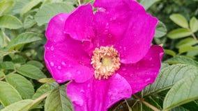 Rosa selvaggia Immagini Stock