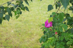 Rosa selvaggia rosa Immagine Stock