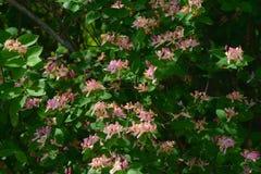 Rosa selvaggio Honeysuckle Blossoms Fotografie Stock Libere da Diritti