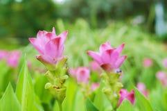 Rosa Siam Tulip i trädgård Royaltyfria Bilder