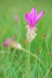 Rosa Siam-Tulpe Stockbilder