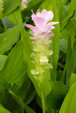 Rosa Siam-Tulpe oder Sommertulpe Stockfoto