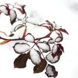 Rosa sidor i snön Vinter royaltyfria foton