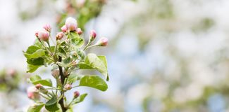 Rosa sikt för äppleblommamakro blomma fruktträd Vårnaturlandskap slapp bakgrund royaltyfri foto