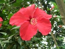 Rosa-sinensis foto de archivo