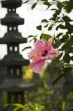 Rosa-sinensis van de hibiscus Stock Afbeeldingen