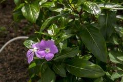 Rosa Singrünblume im wilden Lizenzfreies Stockbild