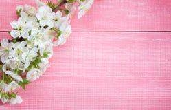 Rosa sjaskig träbakgrund med filialen för söt körsbär för blomning Arkivbilder
