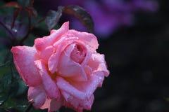 Rosa skönhet Arkivbild