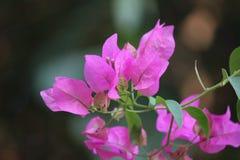 Rosa skönhet Royaltyfri Fotografi