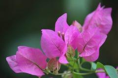 Rosa skönhet Royaltyfria Bilder