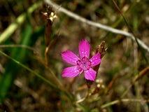 Rosa skönhet Fotografering för Bildbyråer