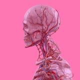 Rosa Skelett auf Spaßrosa-Studiohintergrund Grafik, Design, modern Stockfotografie