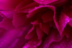 Rosa skinande regndroppar på pionkronbladet Försiktig luftig konstnärlig bild med den mjuka fokusen royaltyfri foto