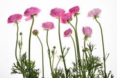 Rosa smörblomma för Buttercup〠perser Arkivfoto