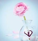 Rosa smörblomma i glasvas med hjärta på blått Royaltyfri Foto
