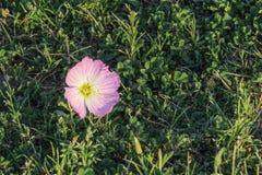 Rosa smörblomma, oenetheraspeciosa, i gräs, växt av släktet Trifolium och ogräs Arkivbild