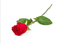 Rosa sola Immagine Stock Libera da Diritti