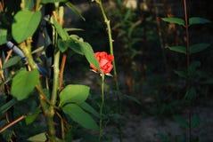 Rosa sola Fotografie Stock Libere da Diritti