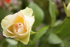Rosa sola di rosa del regalo in foglie verdi per lei Immagini Stock Libere da Diritti