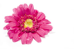 Rosa solros på vit royaltyfria foton