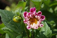 rosa sommar för blommor Arkivfoto
