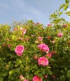 Rosa sommarträdgård, buskeblommor royaltyfri fotografi