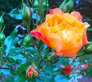Rosa sonhadora Imagem de Stock Royalty Free