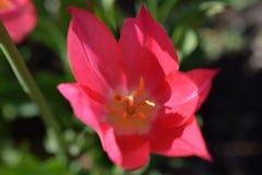 Rosa Sonnenlicht Tulip Sunlight und Schatten Stockbilder