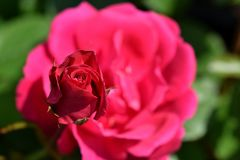 Rosa sopra Rosa Immagine Stock