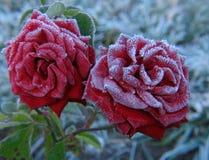 Rosa sotto hoar-frost fotografia stock libera da diritti