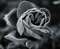 Rosa sotto hoar-frost fotografia stock