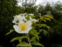 Rosa sp. white rose in the tranquil forest royalty free stock photo