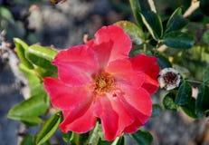 Rosa Spanish Sunset, Floribunda rose cultivar stock image