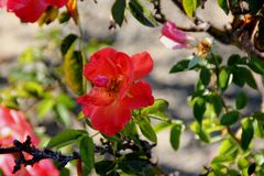 Rosa Spanish Sunset, rosafarbene Kulturvarietät Floribunda stockbild