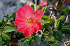 Rosa Spanish Sunset, rosafarbene Kulturvarietät Floribunda stockfoto